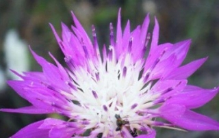 דרדר גדול פרחים