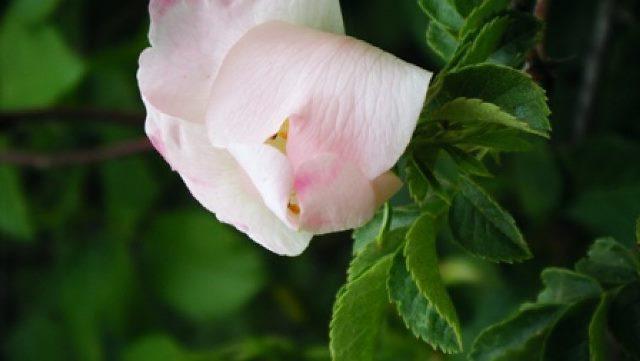 ורד הכלב – ורד הבר