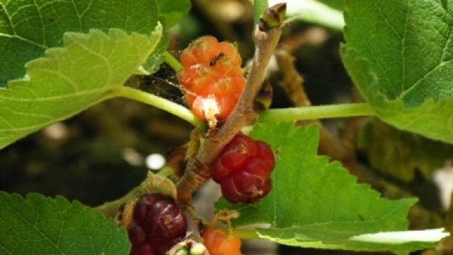 תות דמשקאי – תות שאמי