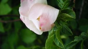 ורד הכלב