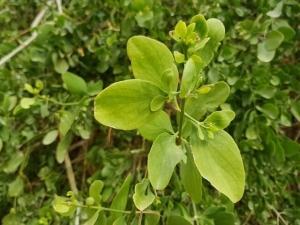 סלוודורה פרסית