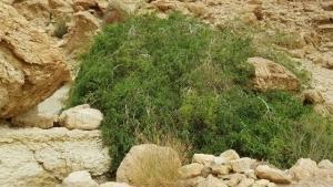 עץ הסלוודורה הפרסית