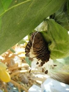 תפוח סדום - פתילת המדבר הגדולה - פריחה