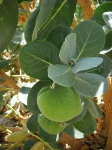 תפוח סדום - פתילת המדבר הגדולה - פרי