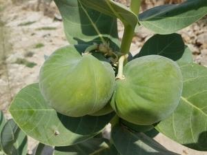 תפוח סדום - פתילת המדבר הגדולה