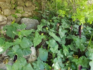צמחי לוף